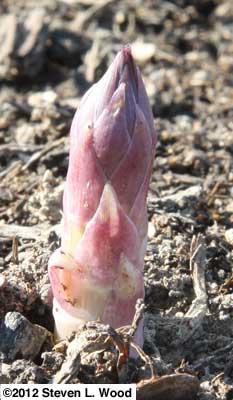 Asparagus tip emerges