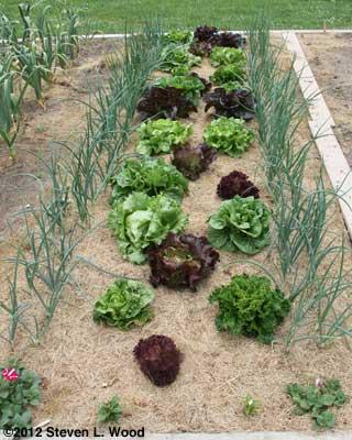 Lettuce softbed