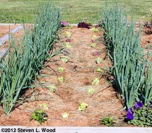 Lettuce replanting
