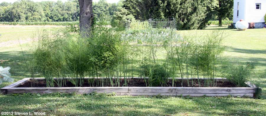 Our asparagus patch