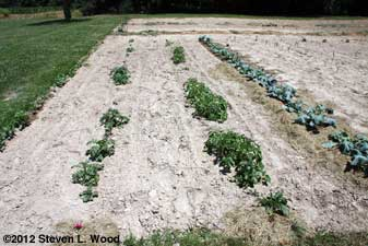 Potatoes and brassicas