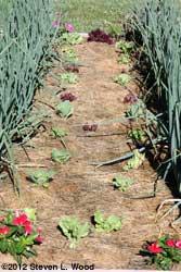 Lettuce succession