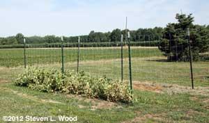 Short pea vines