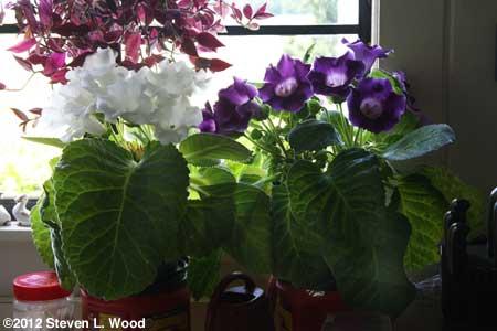 White and purple gloxinias