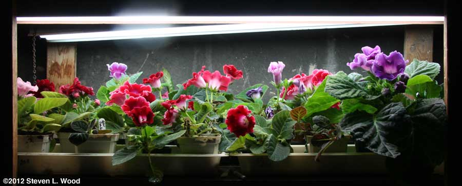 Blooming gloxinias