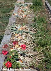 Onions curing in garden