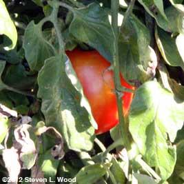 Late tomato