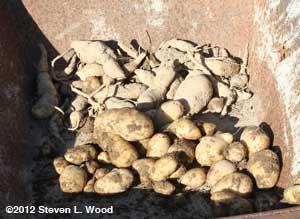 potatoes in wheelbarrow