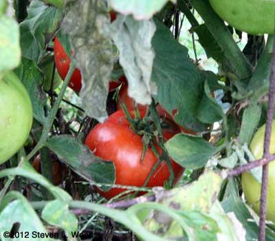 Quinte tomato