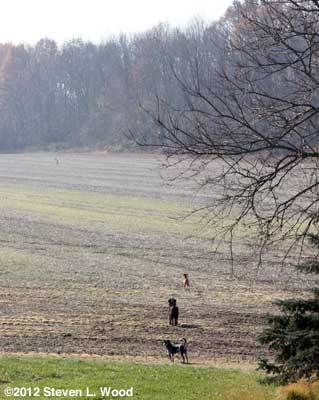 Dogs chasing deer