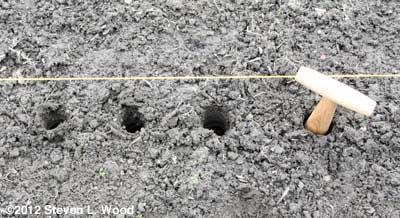 garlic dibble holes