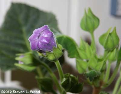 Gloxinia bud