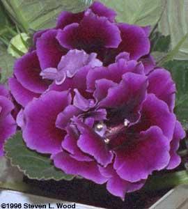 Purple double brocade