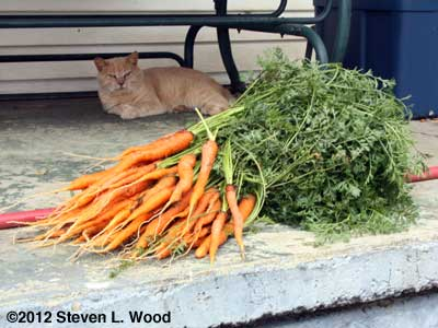 Fall carrots and Buster, the cat