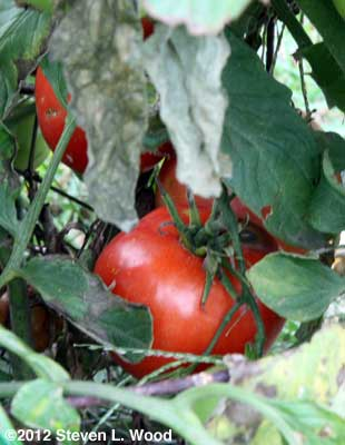 Fresh, homegrown tomatoes on October 23!