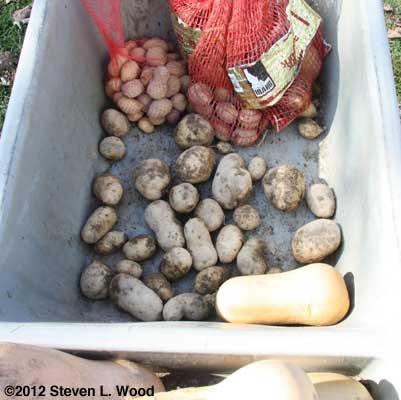 A meager, but delicious potato crop