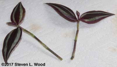 Wandering jew stem cuttings