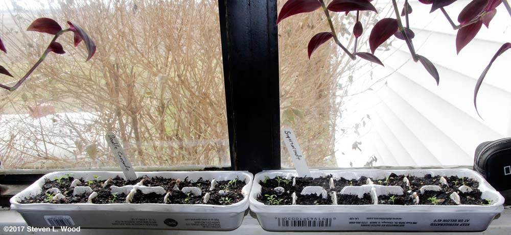 Egg carton petunias on kitchen windowsill