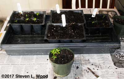 Transplanting vincas