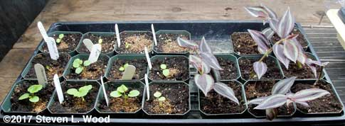 Geraniums and rooted wandering jew cuttings