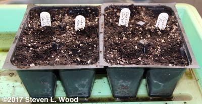 Inserts seeded to cauliflower