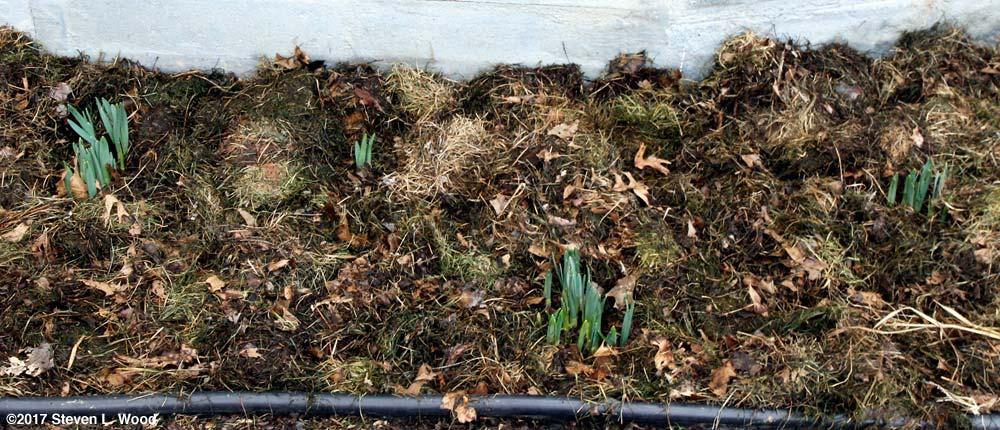 Daffodils mulched