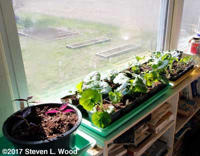 Geraniums and brassicas on sunrrom shelf