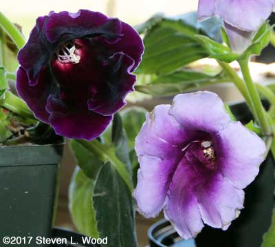 Lavender and deep purple gloxinia blooms