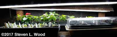 Lettuce, vinca, and germinating tomoto and pepper plants