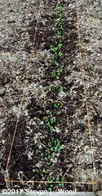 Early peas up