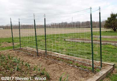Double trellis around tall peas