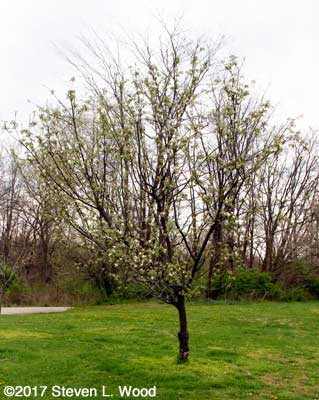 Granny Smith apple tree beginning to bloom