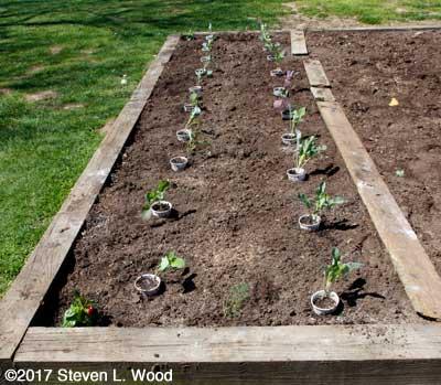 Brassicas planted