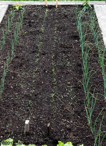 Onions and carrots that will need weeding soon