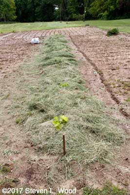 Melon row planted and mulched