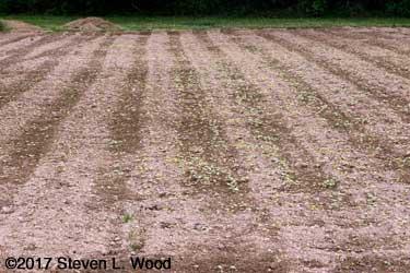 Buckwheat emerging