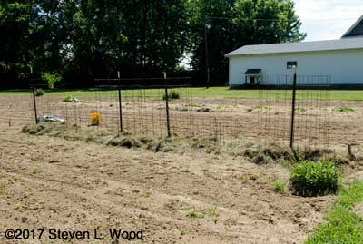 Tomatoes and peppers transplanted, caged, and mulched