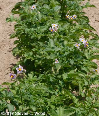 Lots of blossoms on potato plants