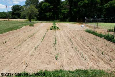 Tilled sweet corn patch
