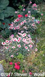 Dianthus in bloom