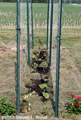 Double trellis around mulched cucumbers