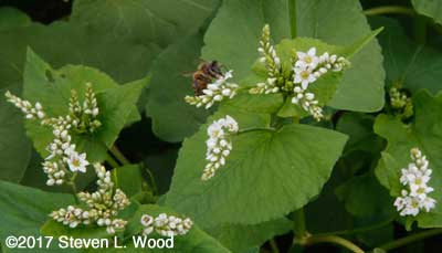 Honeybee on buckwheat bloom