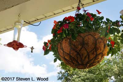 Trailing impatiens in hanging basket