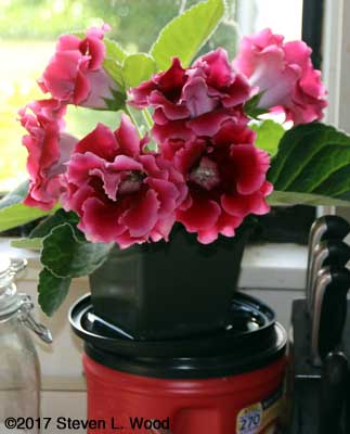 Gloxinia on kitchen counter