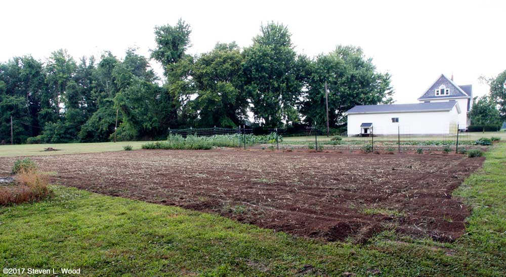 Buckwheat tilled undeer in East Garden