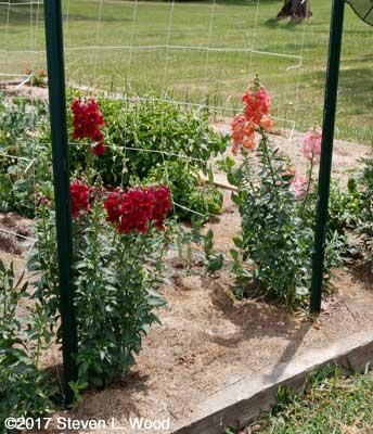 Snapdragons in bloom