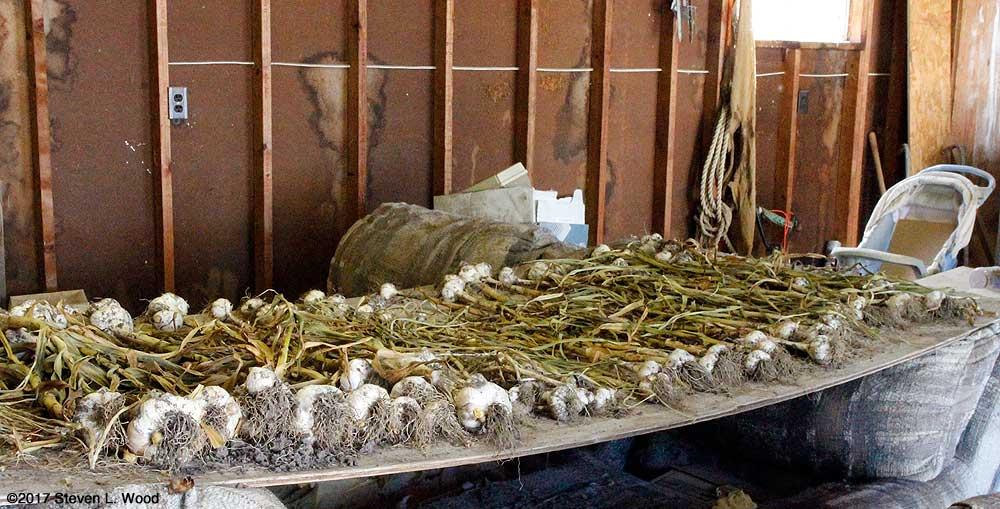 Garlic on drying table