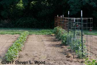 Row of kidney beans and tomato/pepper row