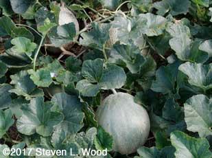 Athena melons
