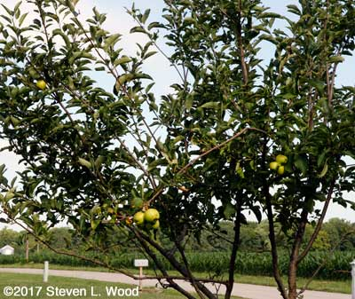 Stayman Winesap tree with apples